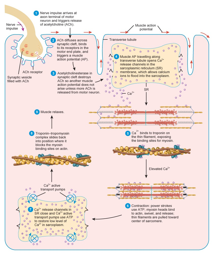 Physiology of Muscle Contraction: agents, anatomy, contraction ...
