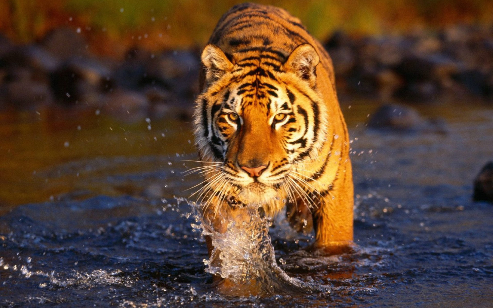 the bengal tiger- endangered species: text, images, music, video